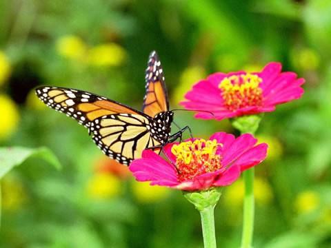 Fotos de borboletas (5)