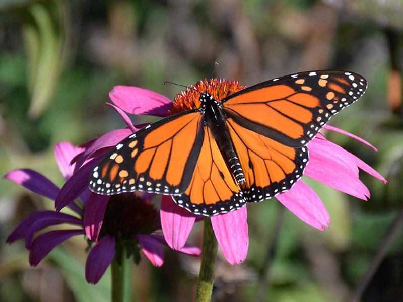 Fotos de borboletas (8)
